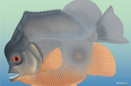 A new piranha-like fish from Jurassic seas with sharp, pointed teeth that probably fed on the fins of other fishes is seen in this artist's reconstruction of a fossil which was discovered in southern Germany in this image released from Eichstaett, Ba