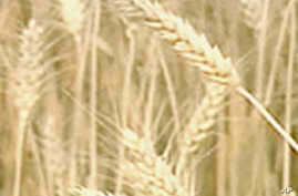 Higher Wheat Prices Do Not Signal Another Food Price Crisis