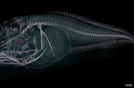 CT scan of the Atacama snailfish