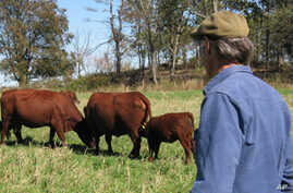 US Cattle Farmers Adopt Eco-Friendly Methods