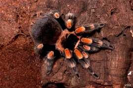 This stunning tarantula, which lives mainly on the Pacific coast of Mexico, resides in burrows, hurrying out to prey on insects, small frogs, lizards, and mice. (© AMNH\R. Mickens)
