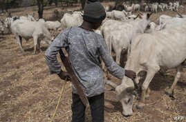 A Fulani boy herds cows in a field outside Kaduna, northwest Nigeria, Feb. 22, 2017.
