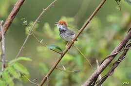 """Cambodian Tailorbird (Orthotomus chaktomuk), a small, light and dark grey bird with an orange-red tuft, was described by scientists as """"hiding in plain sight"""" in Cambodia's capital Phnom Penh when first spotted in 2009. (James Eaton/Birdtour Asia)"""