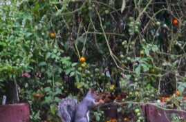 """A squirrel is seen eating vegetables from the White House Garden (Via @<a href=""""https://twitter.com/ObamaFoodorama/status/390174493768810496/photo/1"""">ObamaFoodorama</a>)"""
