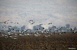 Cranes fly over a dry agricultural field in the Hula Valley, northern Israel, Oct. 23, 2017.