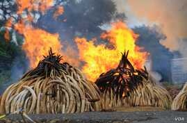 Ivory piles burn at Kenya's Nairobi National Park, April 30, 2016. (J. Craig/VOA)