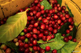 FILE - Coffee beans are seen during harvest at a coffee farm in the jungle of Villa Rica, Peru, June 8, 2012.