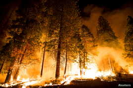 "A controlled burn ignites pine trees on the ""Rough Fire"" —"