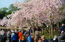 Throngs of people stroll around the cherry blossom groves, with many visitors arriving before sunrise to take photographs, Tidal Basin in Washington, DC, April 13, 2014. (Elizabeth Pfotzer/VOA)