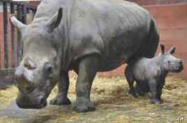 Conservation Project Saves Endangered Black Rhinos