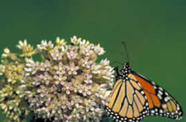 Scientists believe the Monarch's antenna has the ability to sense odors and magnetic waves that help the butterflies set their course for the day.
