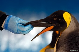 FILE - A keeper feeds herring to a king penguin in its new enclosure at the Melbourne Aquarium, Australia.