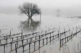 Vineyards remain flooded in the Russian River Valley, Jan. 9, 2017, in Forestville, California.