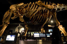 FILE - A fourth grader inspects the replica of a 122-foot-long dinosaur belonging to a group known as titanosaurs on display at the American Museum of Natural History in New York, Jan. 14, 2016.