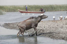 FILE - A water buffalo is seen in the waters of the marshes in Nassiriya, Iraq, June 26, 2018.
