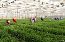 Workers at Maranque Plants harvest the cuttings produced for export in the Oromia region, Ethiopia.