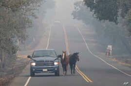 Pepe Tamaya leads horses Sammy, center, and Loli to safety from a deadly wildfire, Oct. 10, 2017, in Napa, Calif. The horses had been let out of their pasture Sunday, when the wind whipped fire moved too fast for the horses to be loaded into trailers