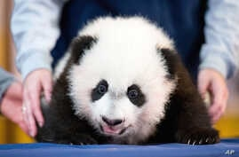 In this photo taken Dec. 14, 2015, Bei Bei, the National Zoo's newest panda and offspring of Mei Xiang and Tian Tian, is presented for members of the media at the National Zoo in Washington.