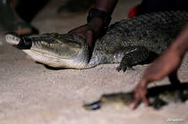 Crocodiles that were captured from a lagoon are pictured during a government-backed training program teaching how to humanely capture and relocate crocodiles in Abidjan, Ivory Coast, July 12, 2017.
