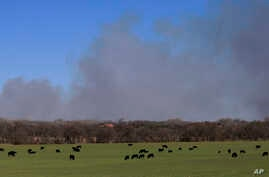 Cattle graze with a background of smoke from wildfires near Hutchinson, Kan., March 7, 2017.