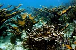 FILE - Healthy coral reef off the Caribbean island of Bonaire.