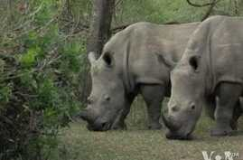 Rhinos are targeted for their horns that can be sold for tens of thousands of dollars on the black market in Asia.