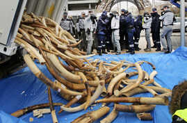 FILE - French Customs employees protect themselves from fragments as about 698 elephant tusks are unloaded before being crushed into dust, at the foot of the Eiffel Tower in Paris, Thursday, Feb. 6, 2014.
