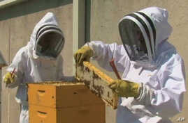 High up on the rooftop of the Fairmont Hotel in Washington, DC, executive sous chef Ian Bens and executive pastry chef Aron Weber tend to honeybees.