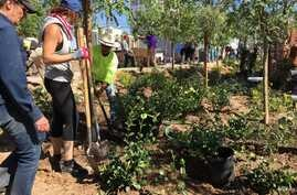 Volunteers plant trees at the Remembrance Wall in honor of the Las Vegas mass shooting victims, in Las Vegas, Nevada, Oct. 5, 2017. (Photo: C. Presutti / VOA)