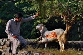 """A man feeds his goat wearing the words """"Eid Mubarak"""" as it awaits slaughter on the Muslim holiday of Eid al-Adha, Islamabad, Oct. 15, 2013."""