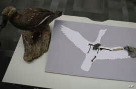 "A recently discovered fossil of the ""Vegavis Iaai"" bird th"