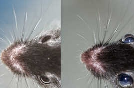 Eyes of a genetically modified mouse (r) bulge with excess pressure compared to a normal mouse. Pressure damages the optic nerve in human cataract patients, leading to blindness. (Photos: Susan Quaggin, Northwestern Univ./Journal of Clinical Investig
