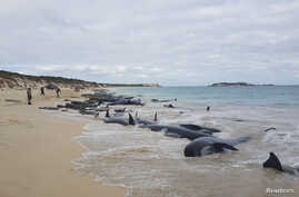Stranded whales on the beach at Hamelin Bay in this picture obtained from social media, March 23, 2018.