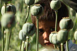 UN: Afghanistan's Opium Production Set to Spike