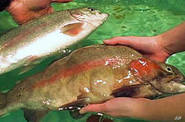 Genetically-Modified Rainbow Trout Could Boost Aquaculture