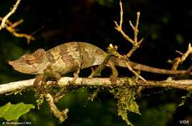 A new species of chameleon was discovered in Tanzania.