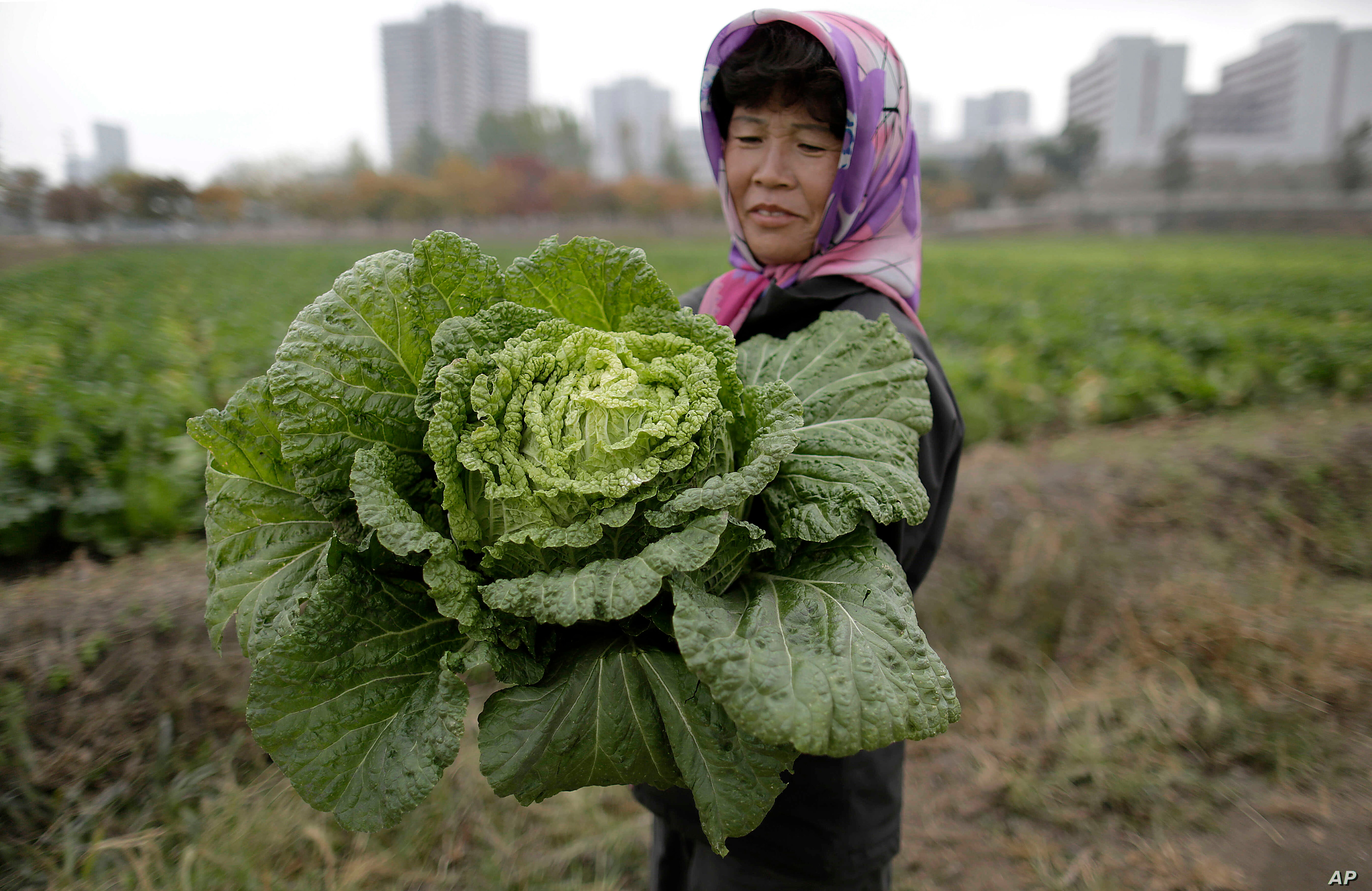 A farmer carries a fully grown cabbage after plucking it out from the main crop which will be harvested early next month, and used to make Kimchi, at the Chilgol vegetable farm on the outskirts of Pyongyang, North Korea, Oct. 24, 2014.