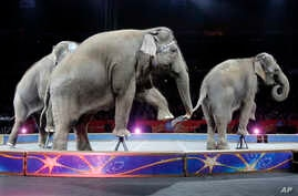 An Asian elephant performs during the national anthem for the final time in the Ringling Brothers and Barnum & Bailey Circus, May 1, 2016, in Providence, Rhode Island. The circus closes its own chapter on a controversial practice that has entertained...