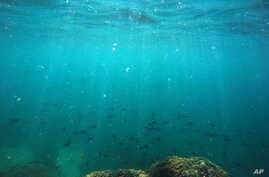 FILE - Fish swim over a patch of coral in Hawaii's Kaneohe Bay off the island of Oahu, Oct. 26, 2015.