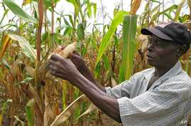 In this March 8, 2011 photo, Joseph Dzindwa, who has expanded from a one-hectare to an eight-hectare maize farm , checks his hybrid maize crop in Catandica, Mozambique.  (AP Photo/Donna Bryson)