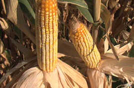Cutting Ethanol Subsidy Might Not Impact Food Prices