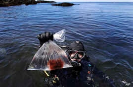 In this June 15, 2017, photo, research technician Kristen Mello shows a sample of a red shrub-like seaweed collected in the waters off Appledore Island, Maine. Kelp forests are critical to the fishing industry but are disappearing around the world.