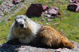 An unofficial ambassador, a local marmot, welcomes visitors to Glacier National Park in Montana.