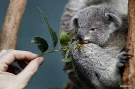 A zookeeper offers eucalyptus leaves to a Koala joey named 'Boonda' in his enclosure at Wildlife World in Sydney, Australia, June 28, 2011.
