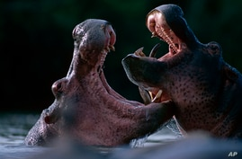 IMAGE DISTRIBUTED FOR WWF - In this image released on Thursday, August 1, 2013, two hippopotamus are fighting in the Rutchuru river, Virunga National Park, Democratic Republic of Congo. Africa's oldest national park could be worth $1.1 billion per ye