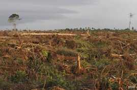 In southwest Cameroon, forests are razed for a palm oil plantation. (Courtesy Center for Environment and Development Cameroon)