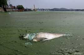 A dead fish floats in water filled with blue-green algae at the East Lake in Wuhan, Hubei province, China, Aug. 20, 2012.