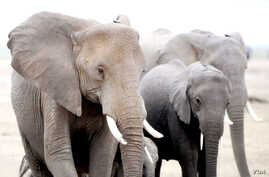 The African Wildlife Foundation said about 35,000 elephants are killed every year by poachers. (Credit: AWF)