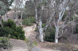 Eucalyptus trees in Southern California's forests, July 20, 2015. (photo by Diaa Bekheet)