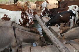 Healthy livestock drink water from a solar-powered borehole in Mathafeni village in Lupane about 600km southwest of Harare, Zimbabwe.  The borehole, supplied by the FAO, provides water for a dip tank a few meters away that helps reduce the risk of wa
